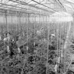 Greenhouse Câmpia Turzii