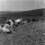 sorting potato