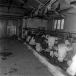 cows in the stable