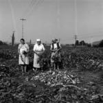 Harvesting onion