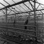 greenhouses Turda