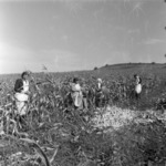 Corn harvest, Baciu