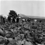 cabbage harvesting