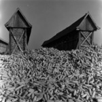 agriculture 1971 corn