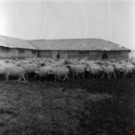 sheep in winter at Iclod