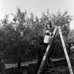 apple picking, Podgoriei