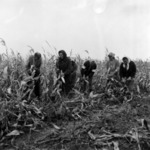 corn harvesting manually