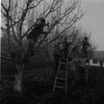 pruning trees