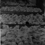 Gilău poultry-farm, CIL Gherla