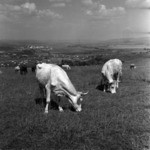 Stock-raising, grazing cows
