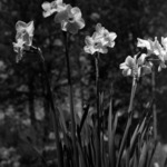 spring flowers, narcissus