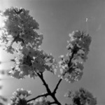 fruit-trees in blossom