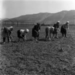 sowing, vegetables