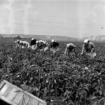 harvesting beetroot