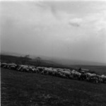 sheep grazing