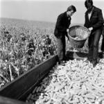 harvesting corn, potato sorting