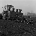 potato seeding