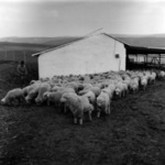 sheep in the pen