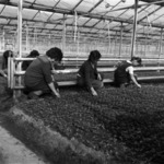 Preparing seedlings