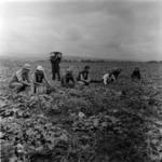 harvesting vegetables, pepper
