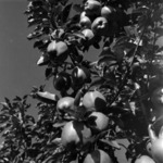 apple picking