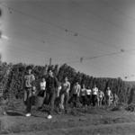 hop harvesting