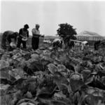 cabbage harvesting