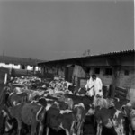calves in front of the stable