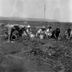 Harvesting potatoes
