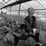greenhouse Luncani