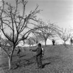 spraying, fruit-trees