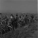 harvesting corn